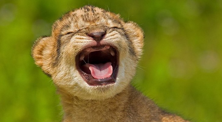 Toothless-Baby-Lion-Smiles-for-the-Camera.jpg